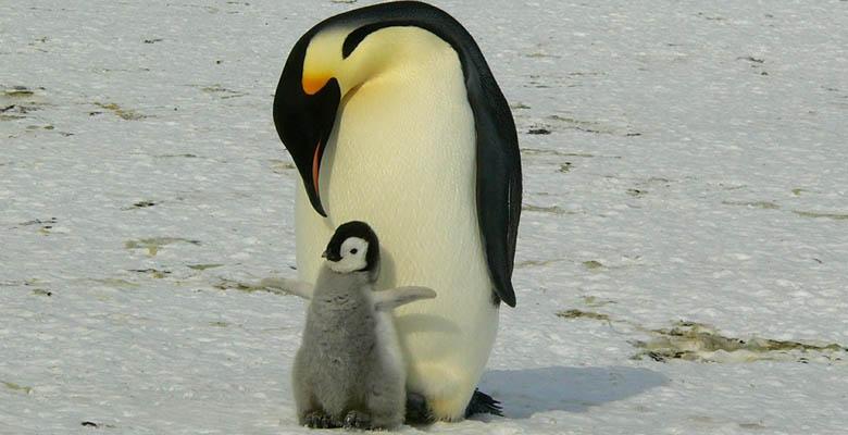 Baby Penguins World Penguin Day