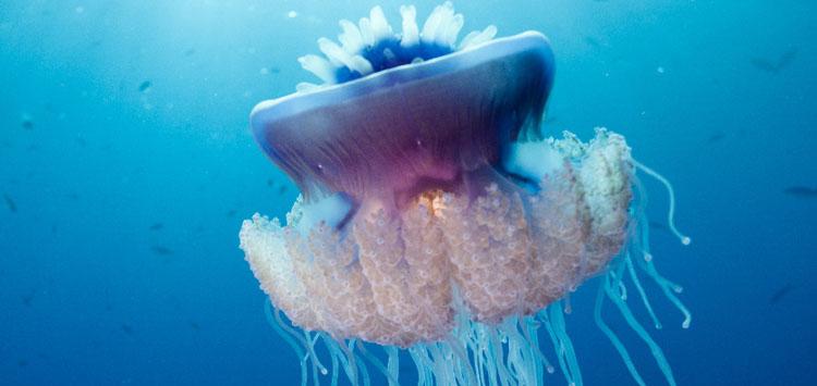 Cauliflower Jellyfish