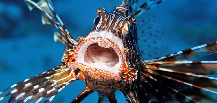 How to Treat Scorpionfish, Lionfish and Stonefish Envenomation