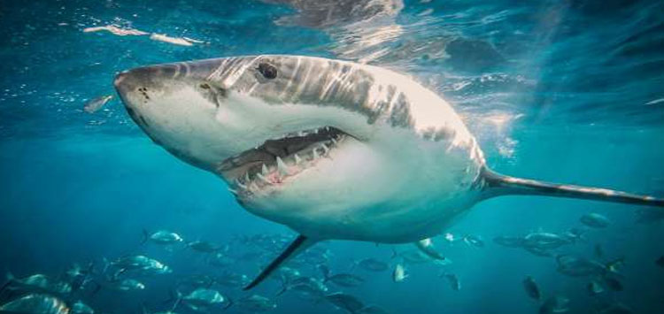50 Great White Shark Facts