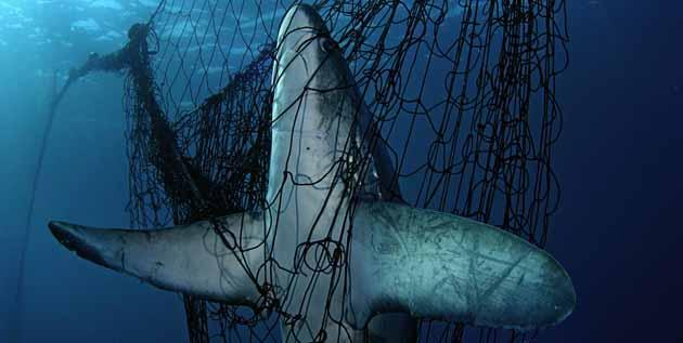 Endangered Sharks