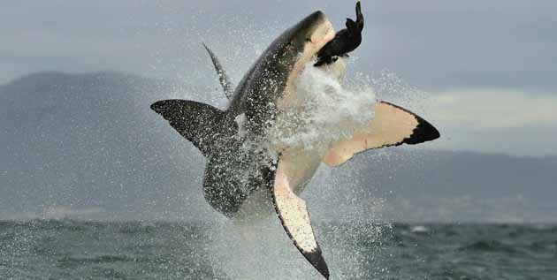 Great White Shark Breach