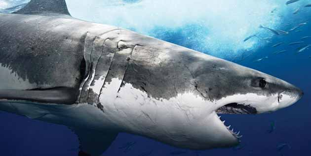 Great White Shark Colors