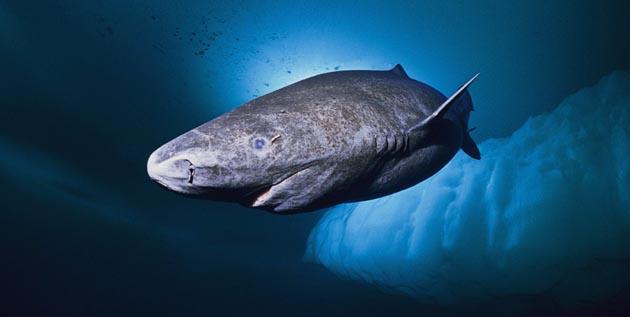 Polar Shark