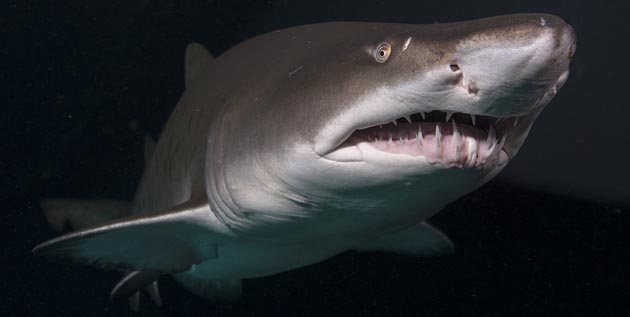 Endangered Shark Species Sand Tiger Shark