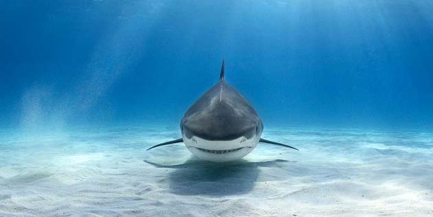 Tiger Shark on the seabed