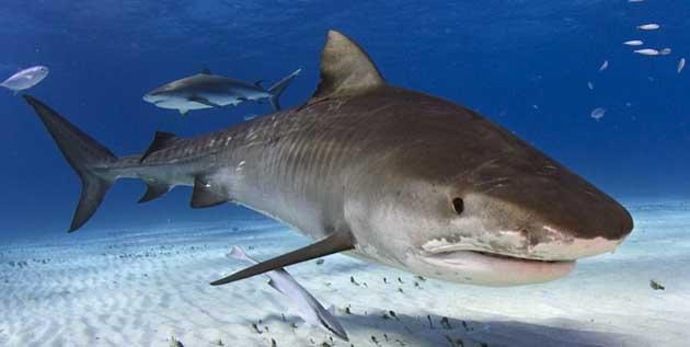 50 Facts about Tiger Sharks – Ocean Scuba Dive | Scuba Blog