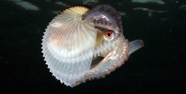 Arganout Octopus