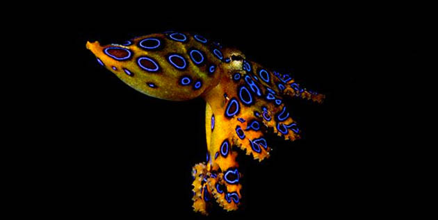 World Octopus Day Blue Ringed Octopus