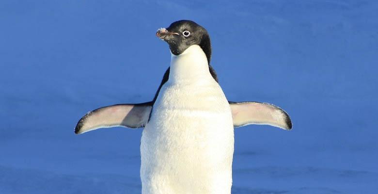Penguin Sign Language