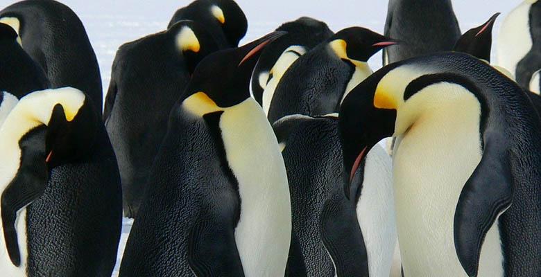 Penguins Huddle Together