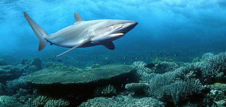 Marine Life Around Shark Reef and The Yolanda Wreck