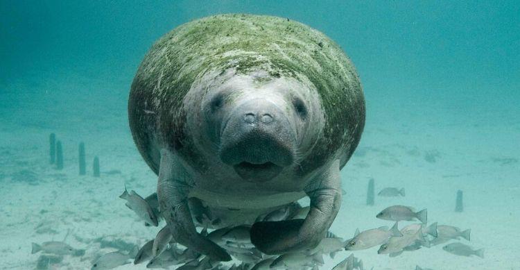 Largest of the Ocean's Herbivores