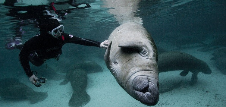 A manatee rests while a snorkeler scratches its underbelly.